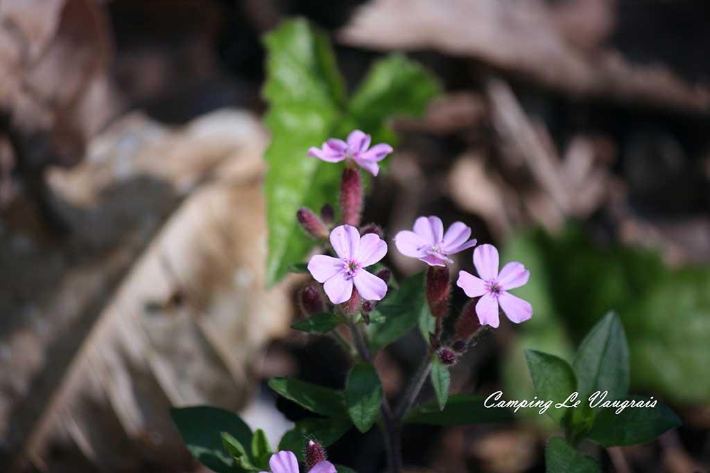 flore massif du Fierloz