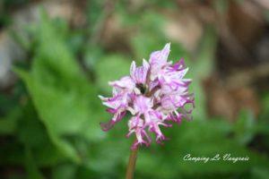 massif du Fierloz fleurs
