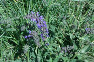 la flore du massif du Fierloz